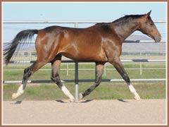 Kanye, Trakehner gelding for sale by E.H. Lehndorff's