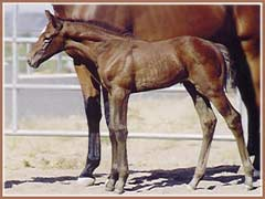 Bombay as a young foal