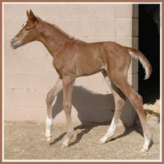 Cara Bella's 2008 filly by Tolstoi, 18 hours old