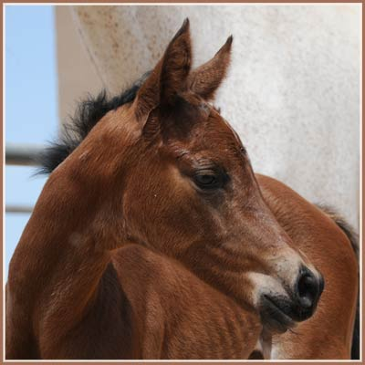 Heretic - Apollo Sun colt