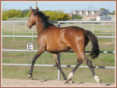 Honora, Trakehner filly for sale by Apollo Sun
