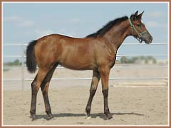 Kapri, Trakehner filly by Freudenfest