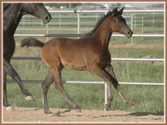Kenya, Trakehner filly by E.H. Lehndorff's