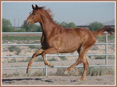Monarch, Trakehner gelding by Emeer