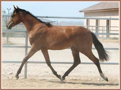 Prada, Trakehner filly by Askar AA