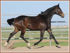 Reflexion, Trakehner filly for sale by E.H. Lehndorff's