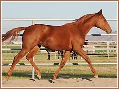 Regan, Trakehner filly for sale by E.H. Lehndorff's