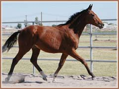 Sedrick, Trakehner gelding for sale by Summertime