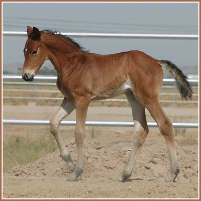 Tropenperle x Bel Espace Go filly at 14 days
